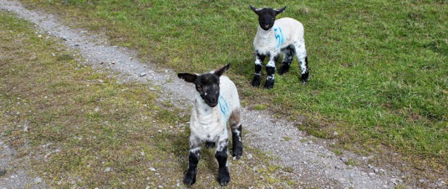 13 tame lambs, Ruth's coastal walk Dumfries and Galloway