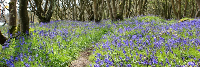 18 bluebells, Ruth Livingstone in Scotland