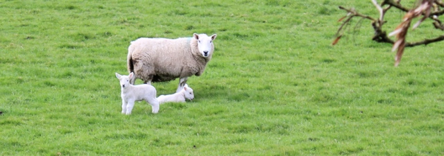18 lambs in fields, Ruth hiking in Dumfries and Galloway
