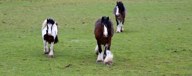 18 shire horses, Ruth walking the coast of Scotland to Gatehouse of Fleet