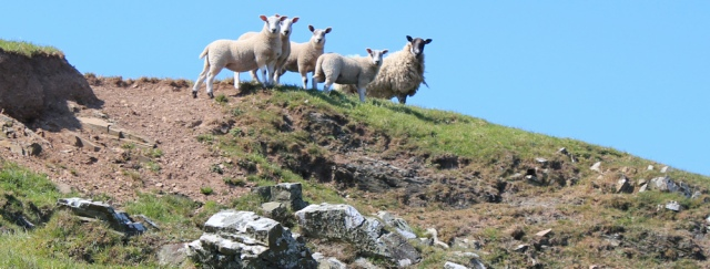 21 sheep are OK, Ruth walking the coast of Scotland