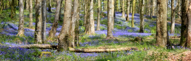 22 bluebells in woods, Ruth's coastal walk, Dumfries and Galloway, Scotland