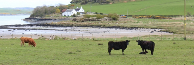 23 cows and bull, Ross Bay, Ruth walking the coast of Dumfries and Galloway