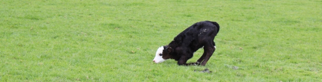 26 injured calf, Ruth Livingstone in Scotland