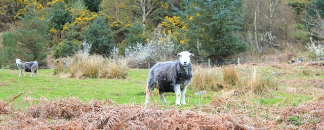 28 sheep, Ruth hiking in Dumfries and Galloway
