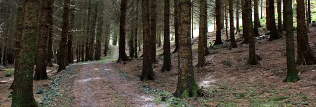 29 track through pines, Ruth's coastal walk, Dalbeattie, Scotland