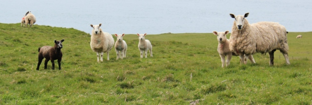 31 Cheviot sheep, Melkle Ross, Ruth walking the coast of Dumfries and Galloway