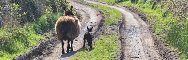 32 black lamb, Ruth Livingstone, Wigtown