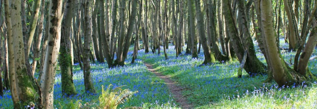 32 path among bluebells. Shore Wood, Ruth Livingstone walking to Garlieston, The Machars, Scotland