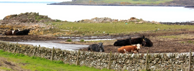 33 cows in Fauldbog, Ruth walking the coast of Dumfries and Galloway