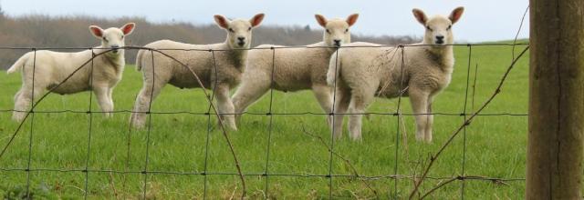 33 lambs, Ruth Livingstone hiking in Scotland