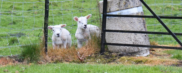 34 lambs, Orshardton Tower, Ruth hiking in Dumfries and Galloway