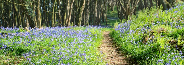 34 path among bluebells, walking the coastal path to Garlieston, Ruth hiking in Scotland