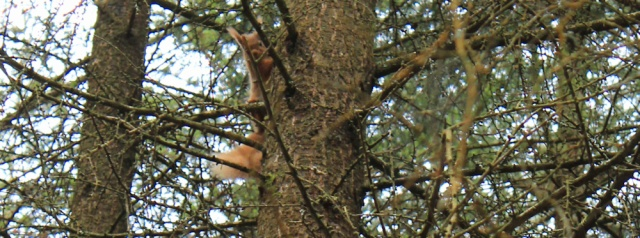 34 red squirrel, Ruth's coastal walk, Dalbeattie, Scotland