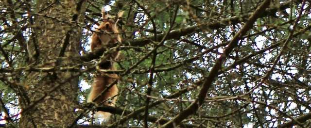 35 more red squirrels, Ruth's coastal walk, Dalbeattie, Scotland