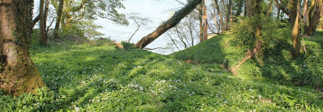 35 wild garlic, Ruth's coastal walk, Dumfries and Galloway, Scotland