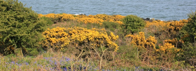 37 gorse and bluebells, Ruth walking to Garlieston Bay, Scotland