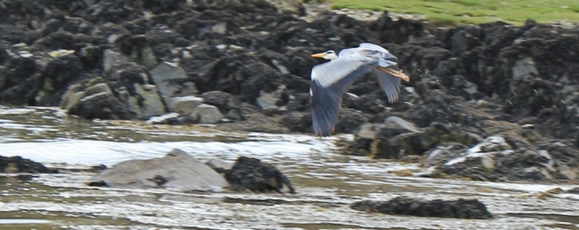 39 heron in Brighouse Bay, Ruth Livingstone