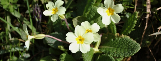 40 primroses, Ruth Livingstone in Scotland