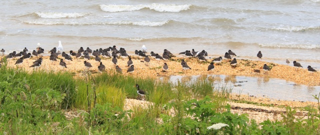 02 oyster catchers, Loch Ryan, Ruth's coastal walk, Scotland