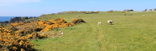 02 stock grazing, Isle of Whithorn, Ruth walking the coast of Galloway, Scotland