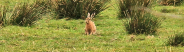 06 hare in field, Ruth's coastal walk, Galloway, Scotland