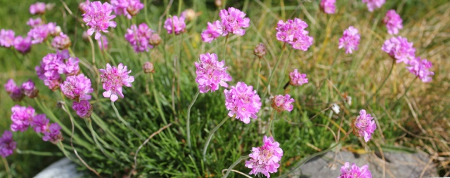 07 pink thrift, Ruth walking the coast in Dumfries and Galloway, Scotland