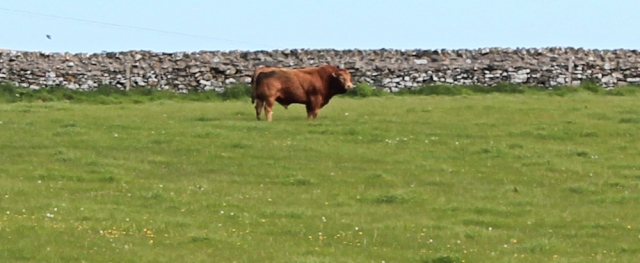 10 bull in field, Ruth walking the coast in Dumfries and Galloway, Scotland