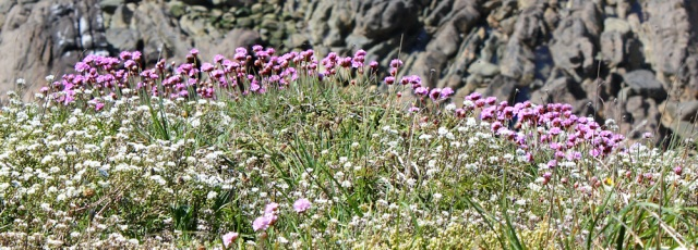 10 flowers on the cliff, Ruth hiking the coastal path, Galloway, Scotland