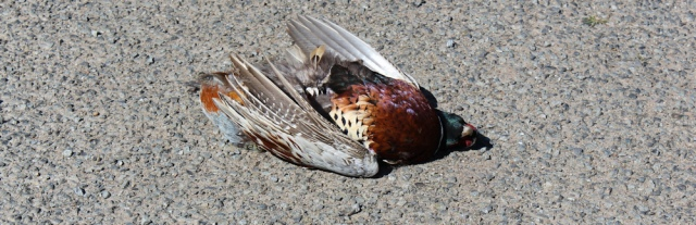 14 dead pheasant on road, Ruth's coastal walk, The Rhins, Scotland