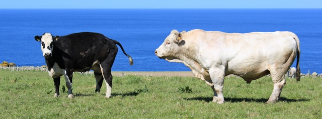 15 another amorous bull encounter, Ruth's coastal walk, The Rhins, Scotland