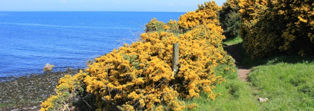 15 gorse path, Ruth walking the Mull of Galloway Trail, Scotland