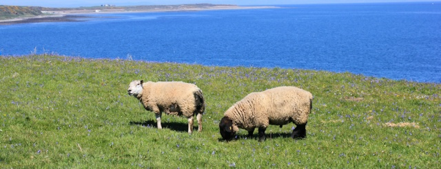 17 rams, Ruth walking the Mull of Galloway Trail, Scotland