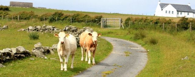 21 heifers, Little Laight Hill, Ruth's coastal walk
