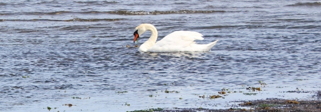 21 swan at Soleburn Bridge, The Wig, Loch Ryan, Ruth's coastal walk, Scotland, Galloway