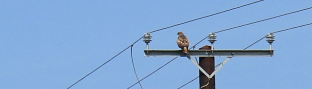 22 buzzard on telegraph pole, Ruth hiking through The Rhins, Galloway, Scotland