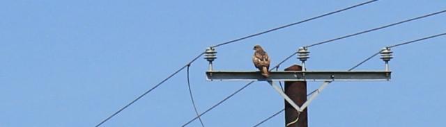 22 buzzard on telegraph pole, Ruth hiking through The Rhins, Galloway, Scotland