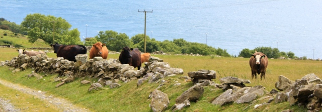 22 cattle on Little Laight Hill, Ruth hiking the Scottish Coast