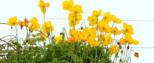 22 yellow poppies, Ruth's coastal walk, The Rhins, Galloway
