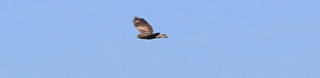 23 buzzard in flight