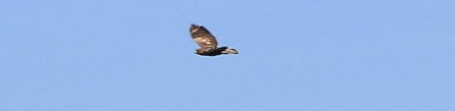 23 buzzard in flight