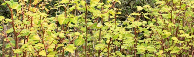 23 Japanese Knotweed, Ruth's coastal walk, The Rhins, Galloway