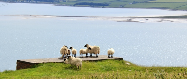 23 sheep on Loch Ryan, Ruth's coastal walk, Scotland
