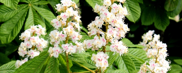24 horse chestnut blossom, Ruth's coastal walk, The Rhins, Galloway