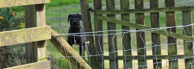 24 labrador kennels, Ruth Livingstone
