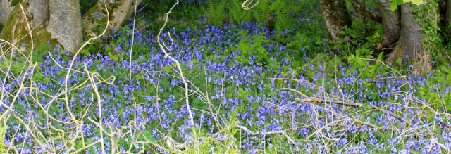 25 bluebells, Ruth's coastal walk, The Rhins, Galloway