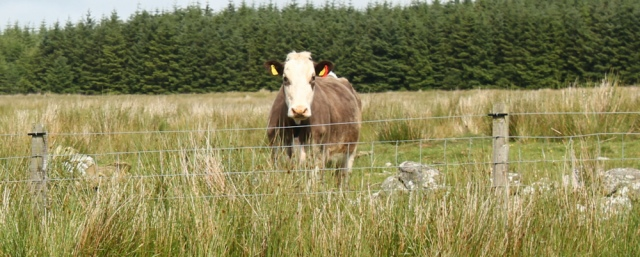 28 watched by cattle, Ruth Livingstone