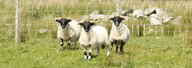 29 watched by sheep, Ruth Livingstone