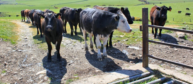 33 bullocks and cattle grid, Ruth's coastal walk, The Rhins, Scotland