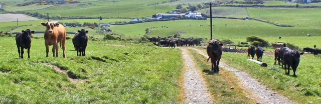 34 second field of bullocks, Ruth's coastal walk, The Rhins, Scotland